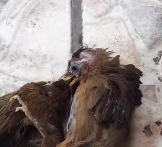 【金黄色画眉鸟】视频直播-YY幻灯迷视频图片